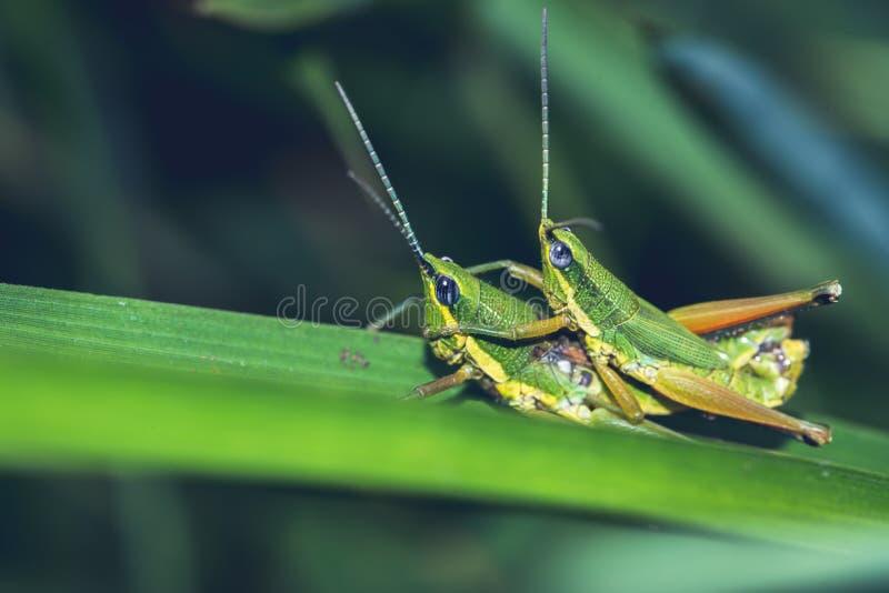 Grasshopper υβριδιοποιεί σε ένα πράσινο φύλλο στοκ φωτογραφία