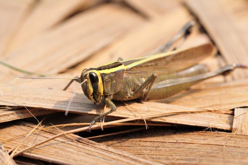 Download Grasshopper Stock Images - Image: 11093144