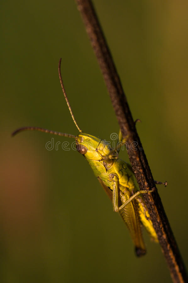 Download Grasshopper stock photo. Image of detail, fauna, plant - 11209658