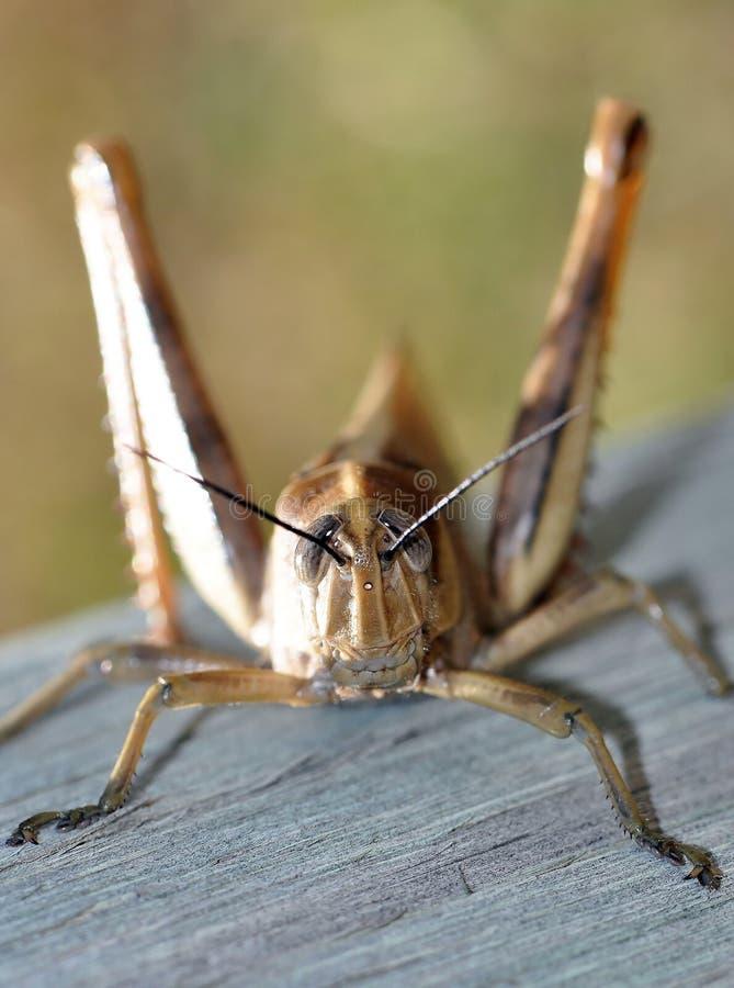 Download Grasshopper stock image. Image of spring, feeler, long - 11282023