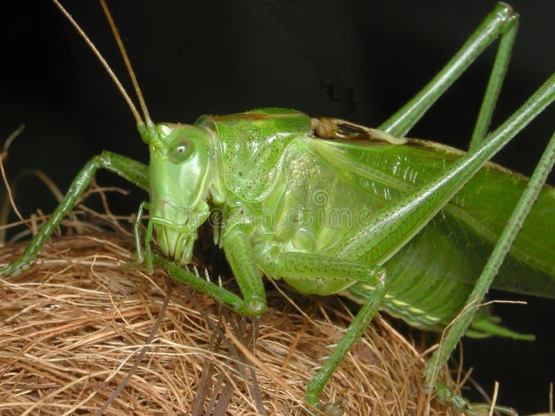 Download Grasshopper stock photo. Image of grasshoper, insect, macro - 12958