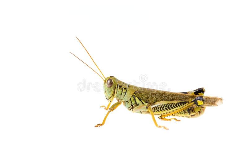 Download Grasshopper Stock Photos - Image: 13078213