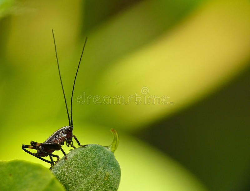 Download Grasshopper stock image. Image of insect, macro, locust - 14101533