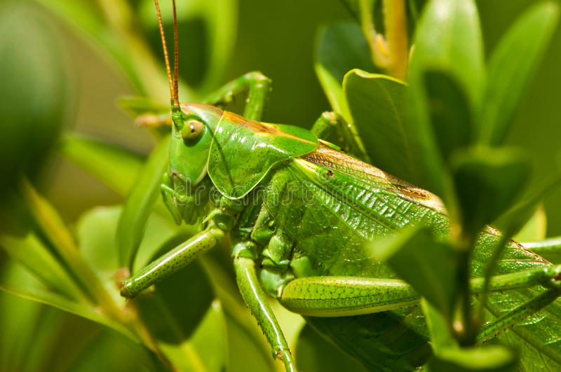 Download Grasshopper stock image. Image of closeup, hunter, insect - 15466453