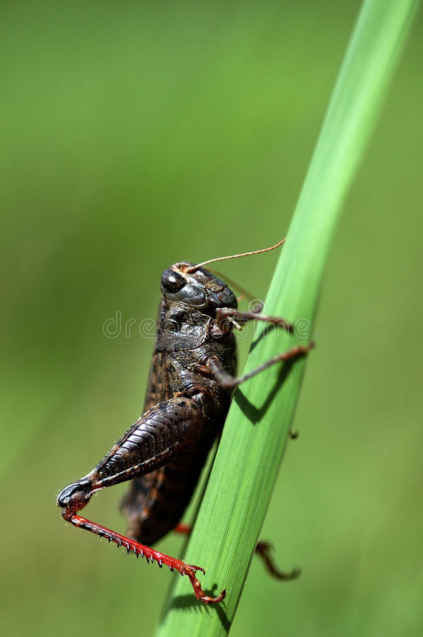 Free Grasshopper Stock Images - 15649984