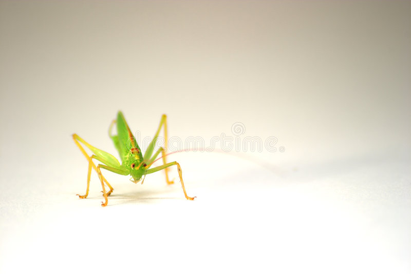 Download Grasshopper stock photo. Image of cricket, crickets, meadow - 16450
