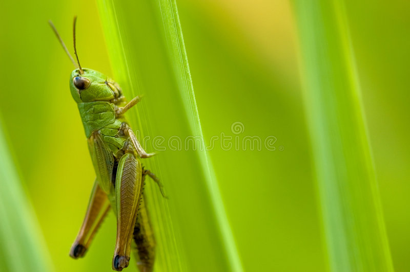 Download Grasshopper stock photo. Image of large, jump, green, close - 1648874