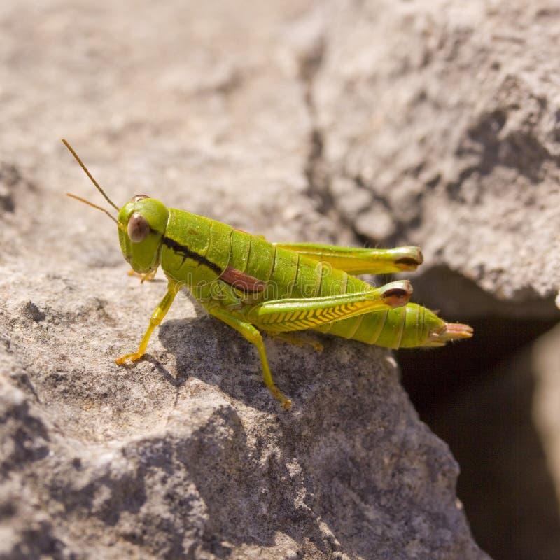 Download Grasshopper Royalty Free Stock Image - Image: 16494846