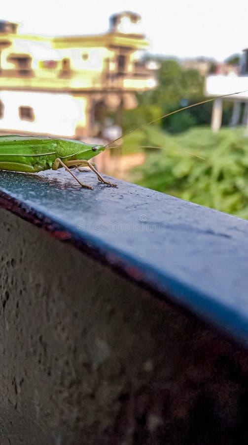 Grasshopper stockfotografie