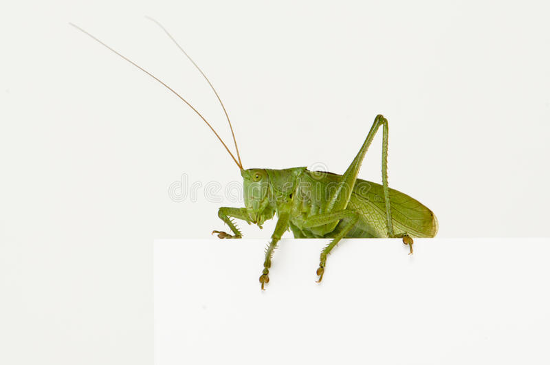 Grasshopper. Sitting on a blank space watching royalty free illustration