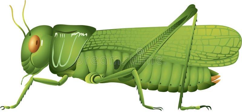 Grasshopper. Illustration showing high detail vector illustration