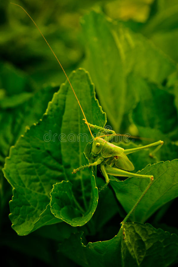 Free Grasshopper Stock Photography - 19873132