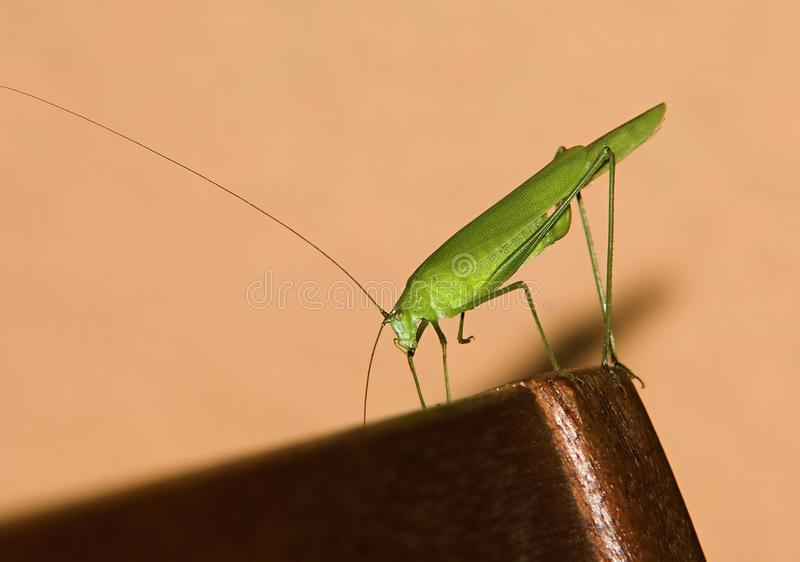 Download The grasshopper stock photo. Image of bugs, jump, natural - 20756388