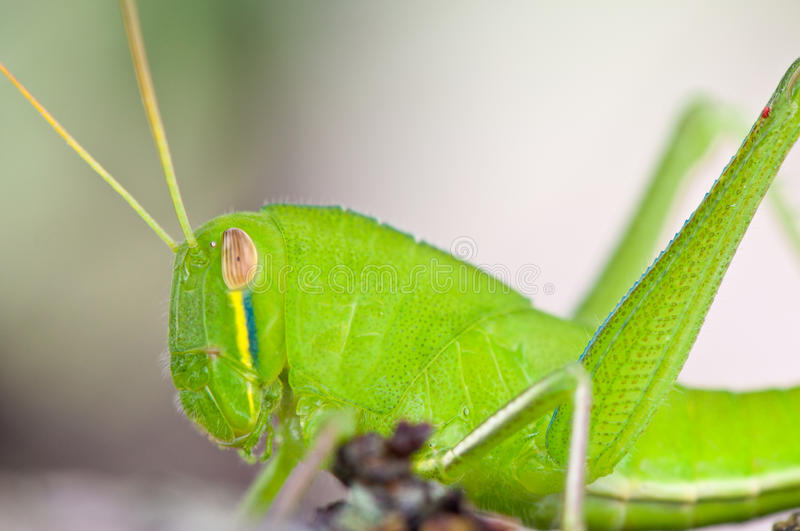 Download Grasshopper stock photo. Image of green, park, garden - 21952192