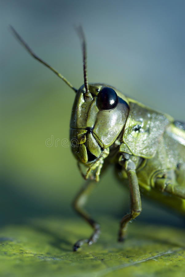 Download Grasshopper stock photo. Image of jumper, pest, plague - 24874898
