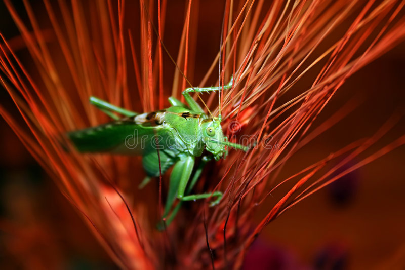 The grasshopper royalty free stock image