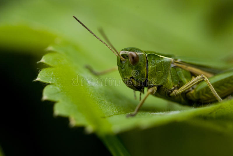 Download Grasshopper Royalty Free Stock Photos - Image: 26273978