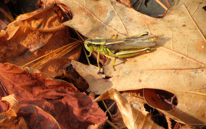 Download Grasshopper stock photo. Image of insect, color, segmented - 27532120