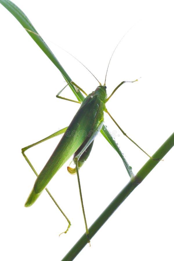 Free Grasshopper 3 Stock Photos - 19696783