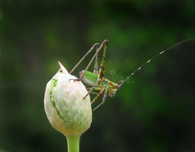 Download Grasshopper stock image. Image of antena, green, jump, feeler - 451897