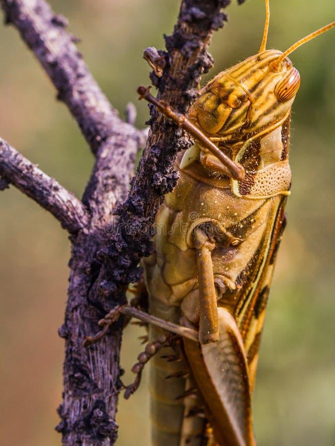 Download Grasshopper στοκ εικόνα. εικόνα από κοινότητα, έντομο - 62714845