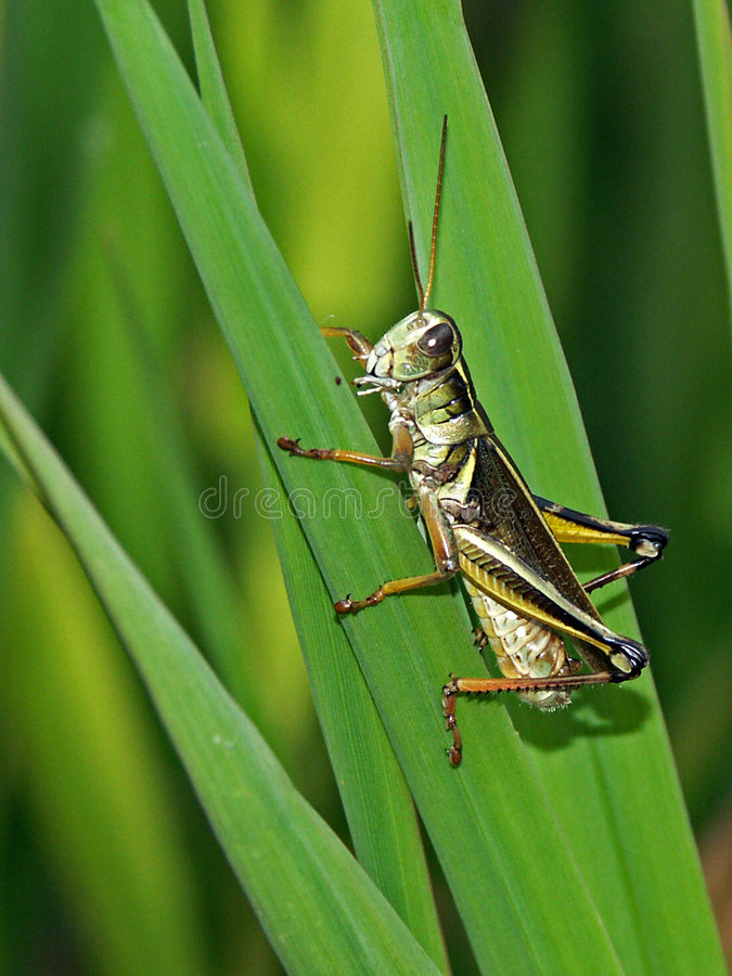 Free Grasshopper Royalty Free Stock Images - 790349