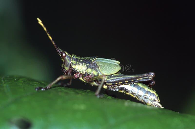 Grasshopper Free Stock Photos