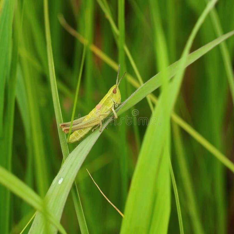 grasshopper immagini stock libere da diritti