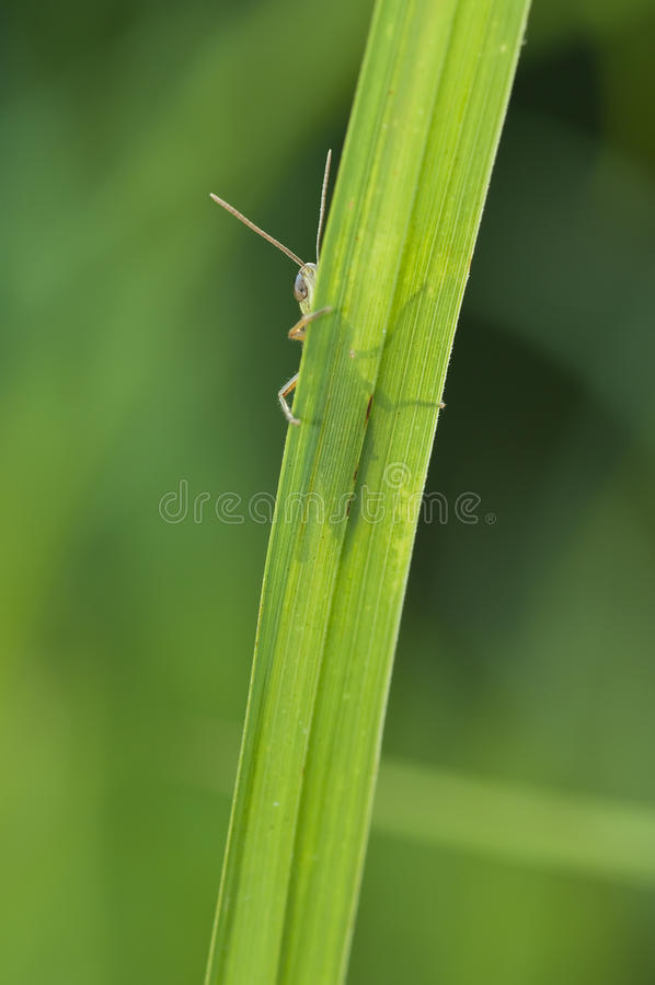Grasshopper Behind A Blade Of Grass Royalty Free Stock Photos