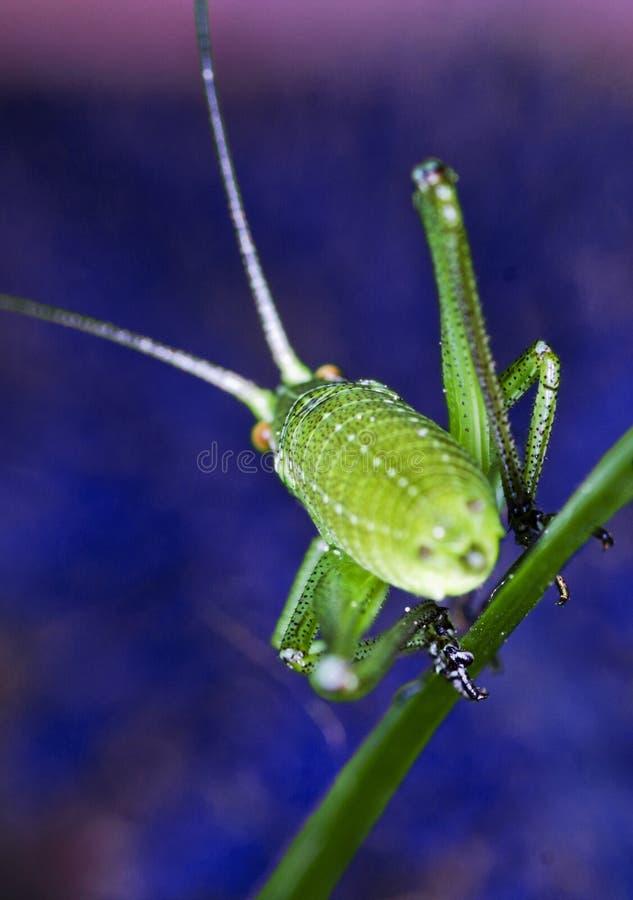 Grasshopper On Blue Background Royalty Free Stock Image
