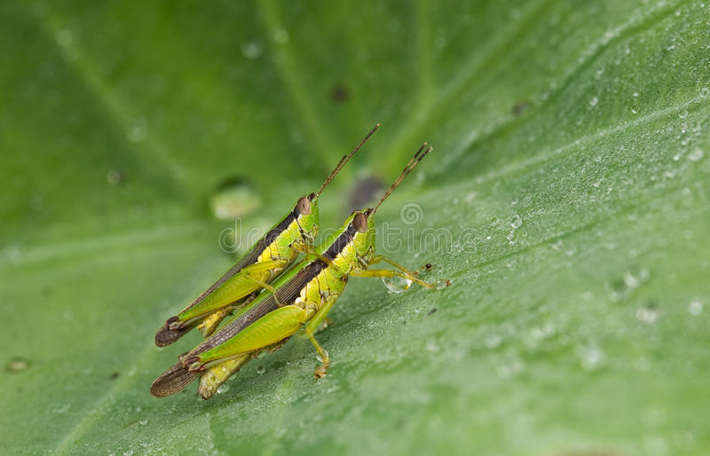 Grasshopper breed