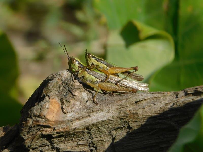 Grasshopper Breeding stock images