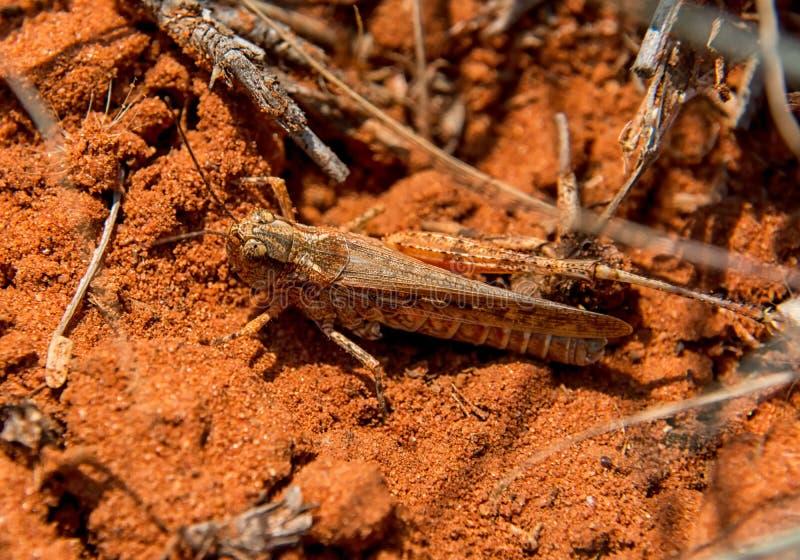 Grasshopper Burrowing στοκ εικόνα με δικαίωμα ελεύθερης χρήσης