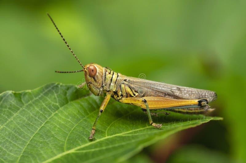 Grasshopper, Caelifera, Thane, Maharashtra, Ινδία στοκ εικόνα με δικαίωμα ελεύθερης χρήσης