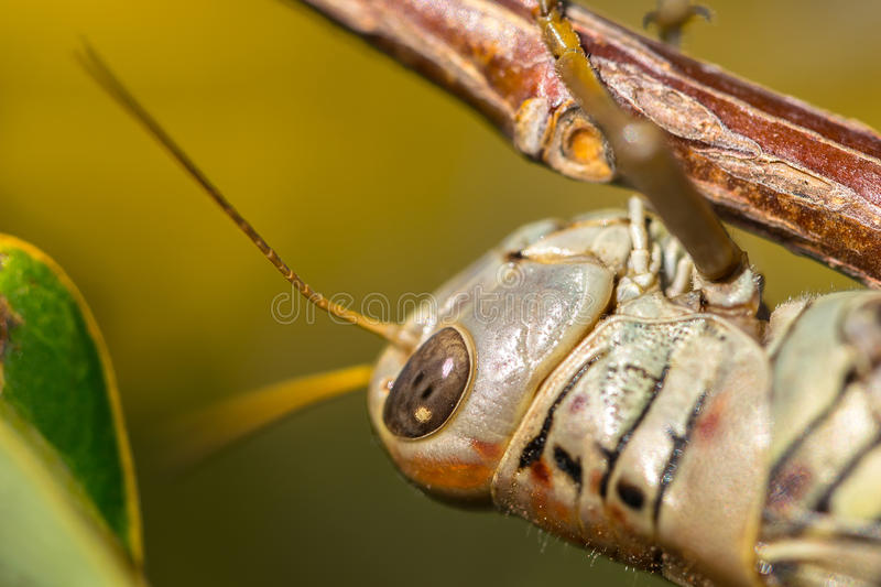 Grasshopper Clinging to a Branch stock image