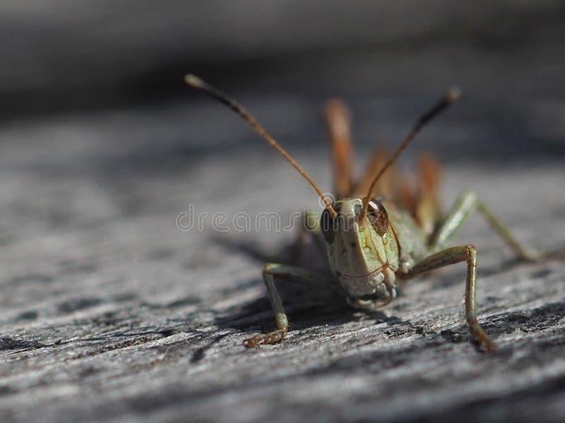 Grasshopper close up stock images