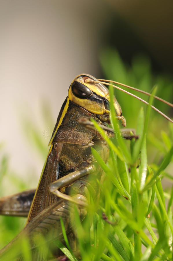 Download Grasshopper Closeup Royalty Free Stock Images - Image: 11092309