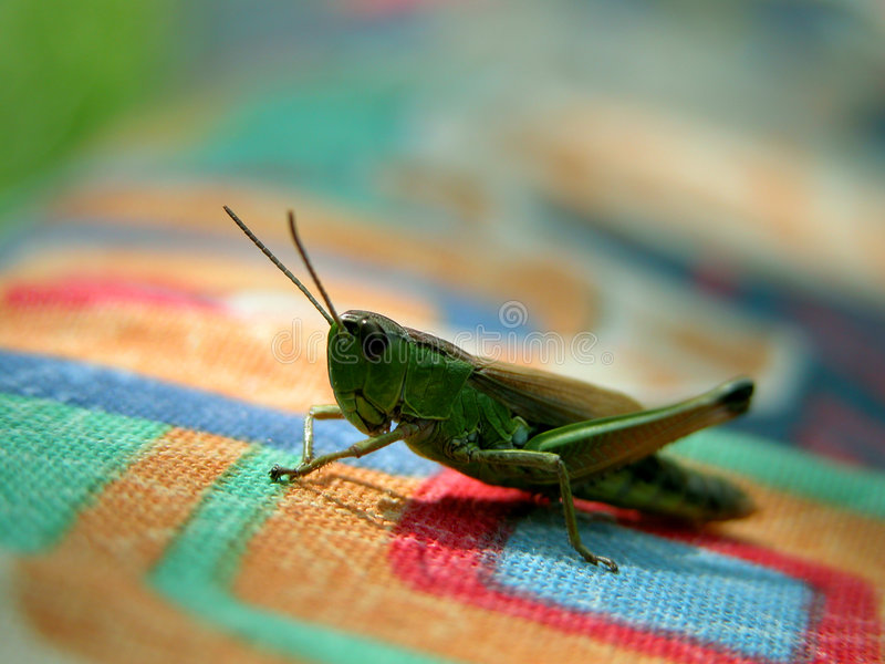 Grasshopper on coloured texture royalty free stock image