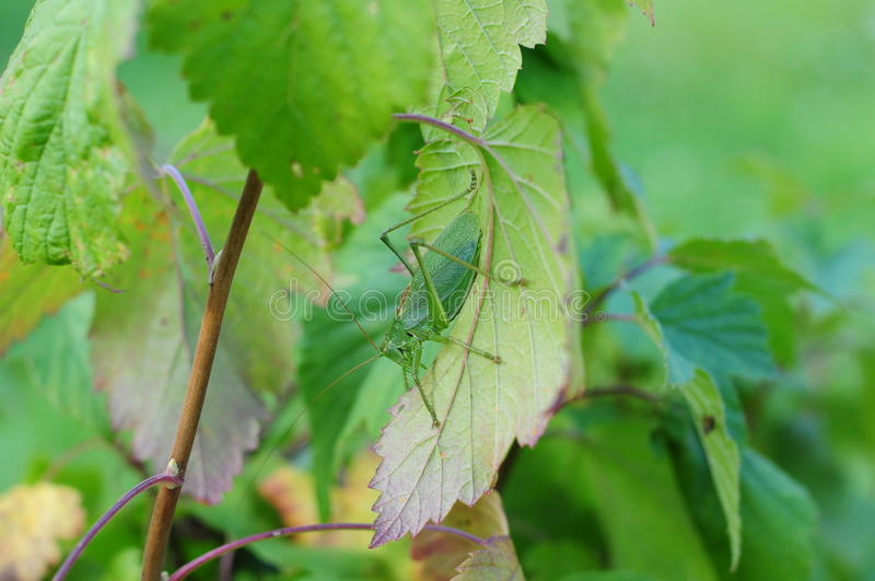 Grasshopper in currants stock image