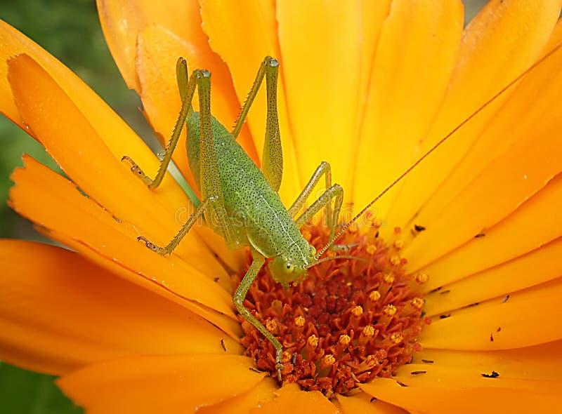 Grasshopper on a daisy royalty free stock image