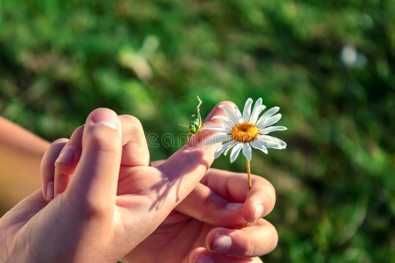 Grasshopper and daisy flower on the hand of the child. Summer background. Grasshopper and daisy flower on the hand of the child royalty free stock photos