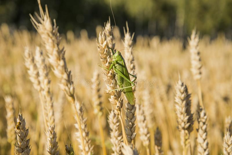 Grasshopper on the ear royalty free stock images