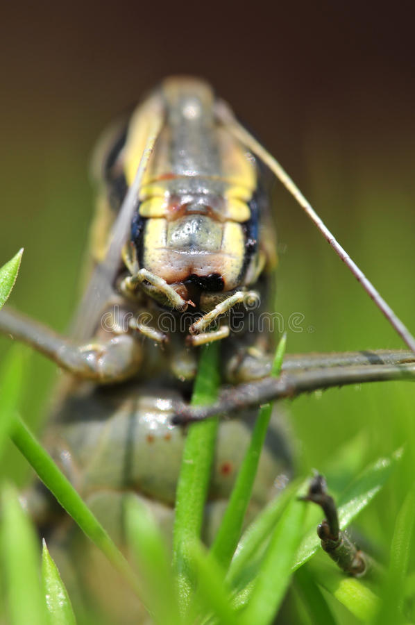 Grasshopper Eating Grass Royalty Free Stock Images