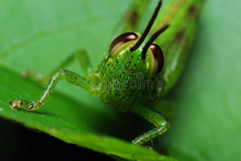 Grasshopper Face stock image