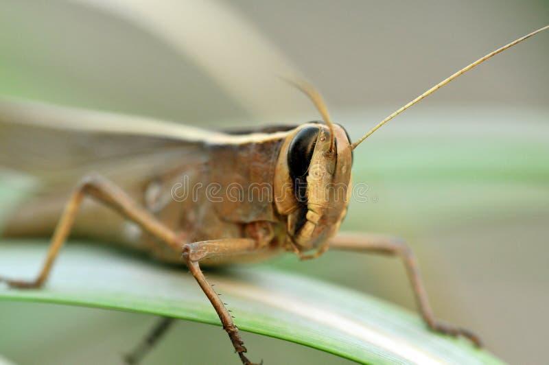 Grasshopper face macro stock image