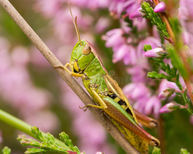 Grasshopper in field of heather royalty free stock image
