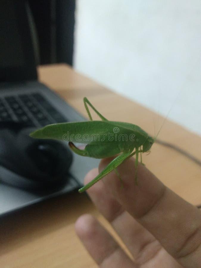 Grasshopper on the finger tip stock photo