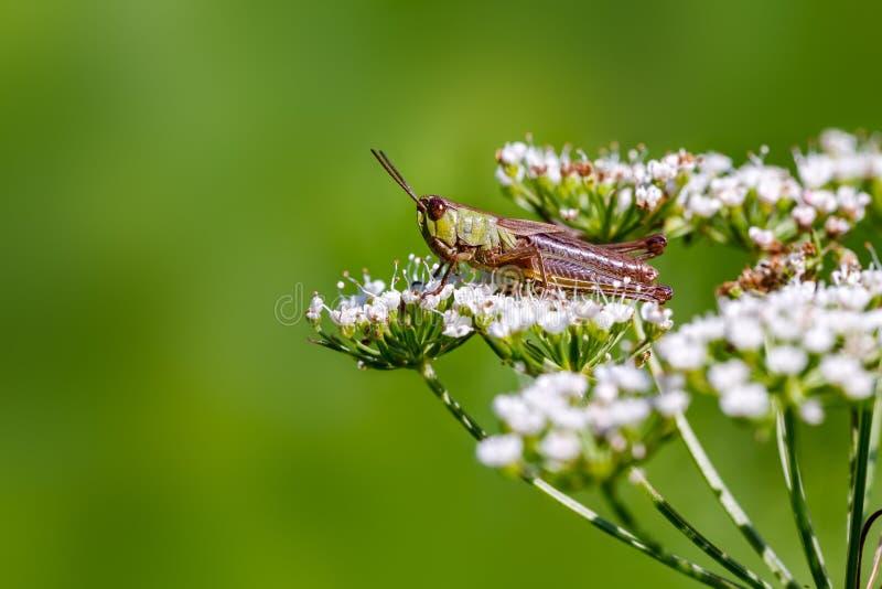 Grasshopper. stock image