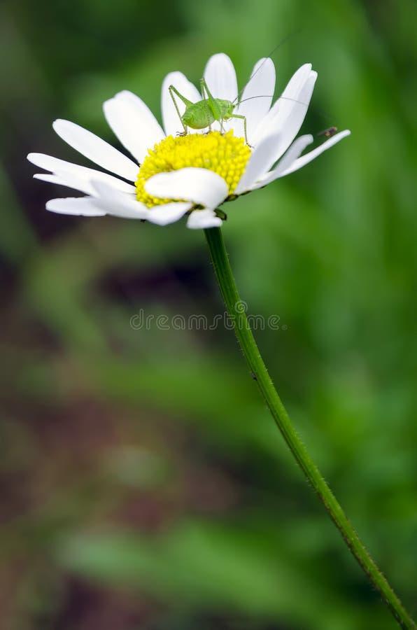 Grasshopper on flower. stock photo
