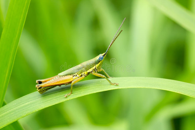 Grasshopper in front of natural background stock photo